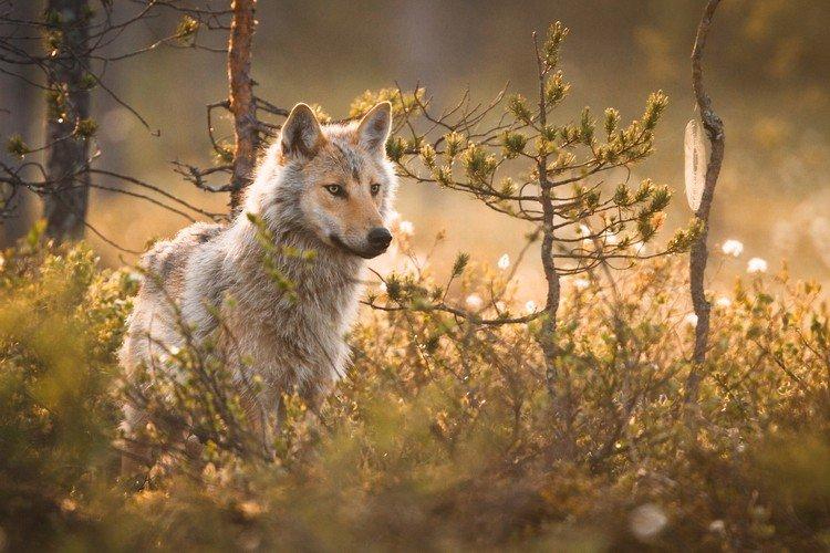 Если не хотите повстречаться в лесу с волками в одиночку, берите с собой друзей